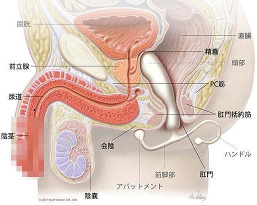 前立腺の断面図